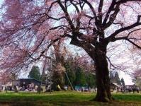 白鷹町2015桜2釜の越桜さくらまつり