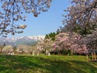 白鷹町2015桜3釜の越農村公園
