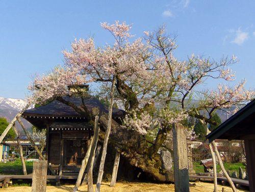白鷹町2015桜4薬師桜