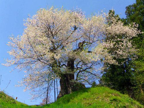 白鷹町2015桜6子守堂の桜