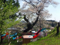 白鷹町2015桜7子守堂の桜