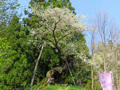 白鷹町2015桜8赤坂の薬師桜