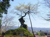 白鷹町2015桜9赤坂の薬師桜