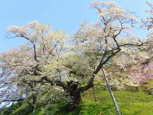 白鷹町2015桜10殿入桜