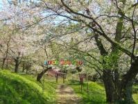 白鷹町2015桜11殿入桜