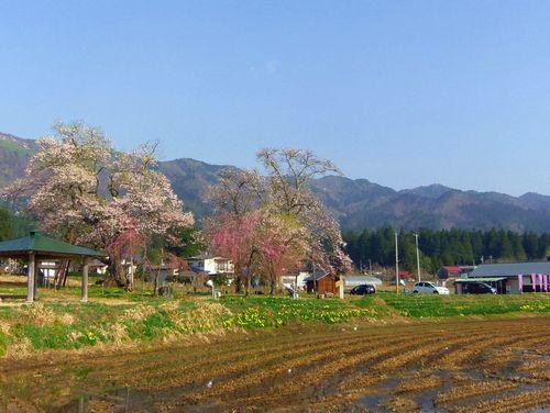 白鷹町2015桜12十二の桜