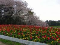 長沼フートピア公園2015桜2チューリップ