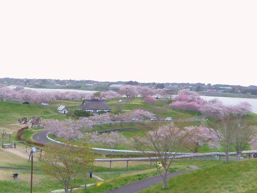 長沼フートピア公園2015桜3