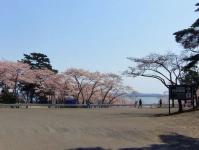 松島西行戻しの松公園2014桜6