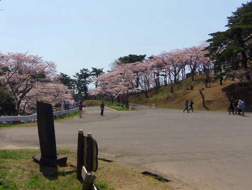 松島西行戻しの松公園2014桜7
