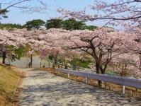松島西行戻しの松公園2014桜8