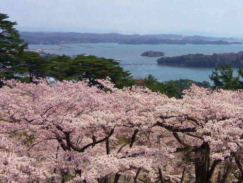 松島西行戻しの松公園2014桜10