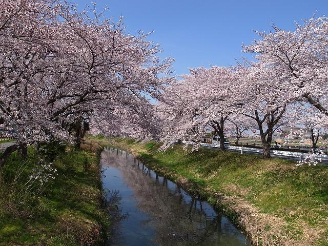 2015-03-31 川越さくら 017