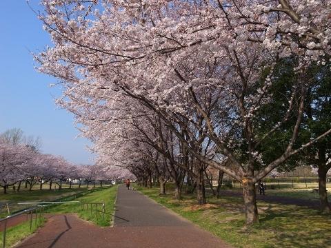 2015-03-31 川越さくら 004