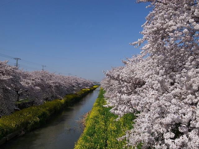 2015-03-31 川越さくら 039
