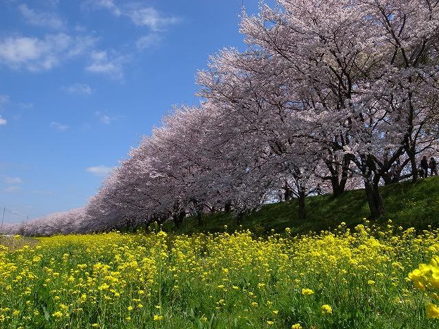2015-04-02 さくらぽた 092