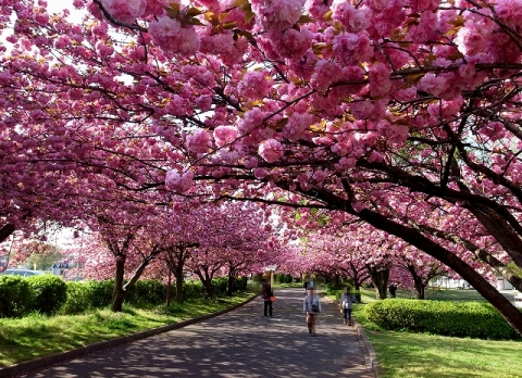 2015-04-18 川越水上公園八重桜 014
