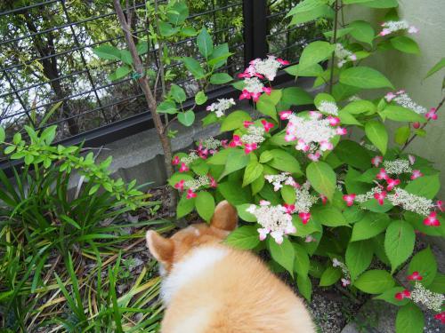 庭のピンクあじさい