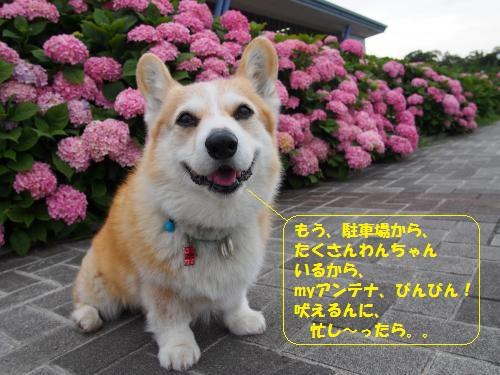 北神戸田園のあじさい