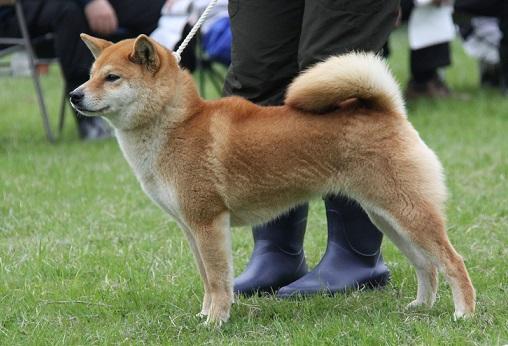 20150405広島展壮犬8