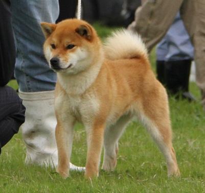 20150405広島展壮犬10