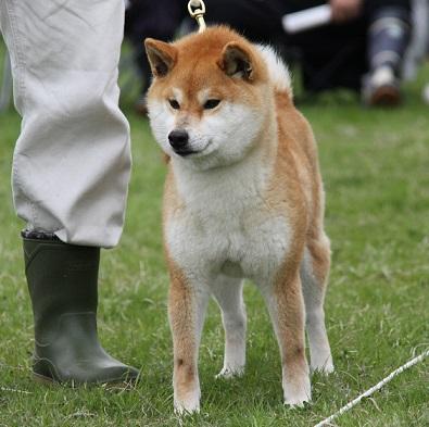 20150405広島展成犬雌3
