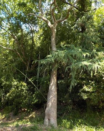 蜂の巣の木1