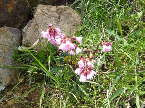 イワカガミノ花