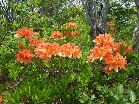 レンゲツツジの花
