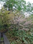 ミネザクラが咲いている