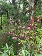 アカヤシオも咲いている