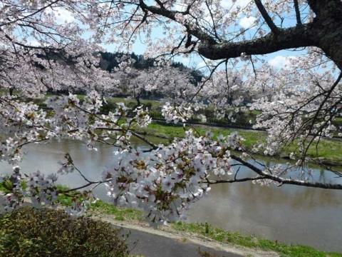 桜の花-2