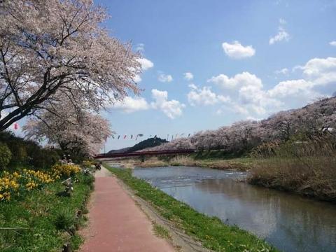桜の花と鯉のぼり