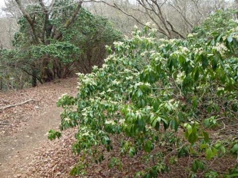 馬酔木の花がいっぱいの登山道