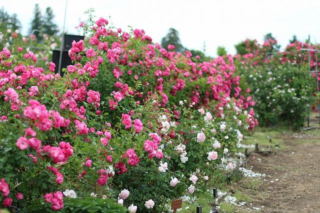 IMG_5526安曇野のバラのお宅