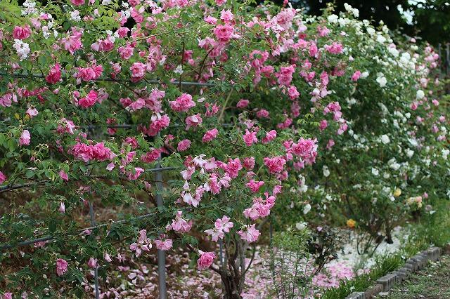 IMG_5525安曇野のバラのお宅