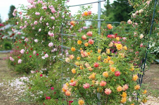 IMG_5529安曇野のバラのお宅