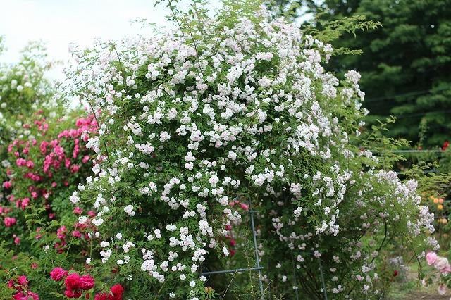 IMG_5532安曇野のバラのお宅