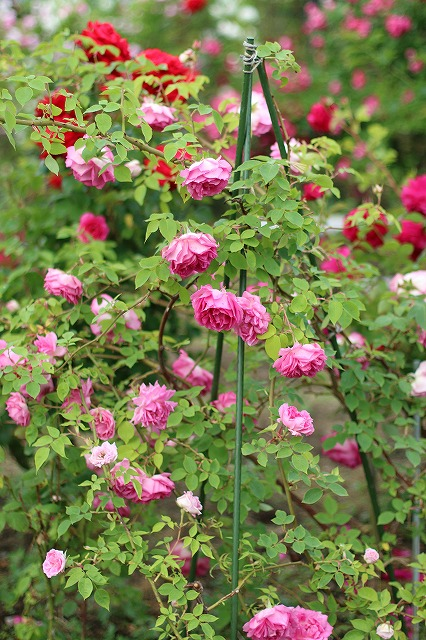 IMG_5533安曇野のバラのお宅