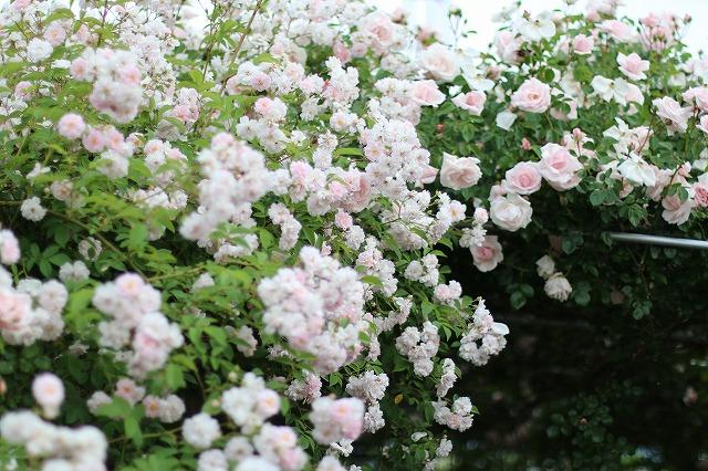 IMG_5542安曇野のバラのお宅