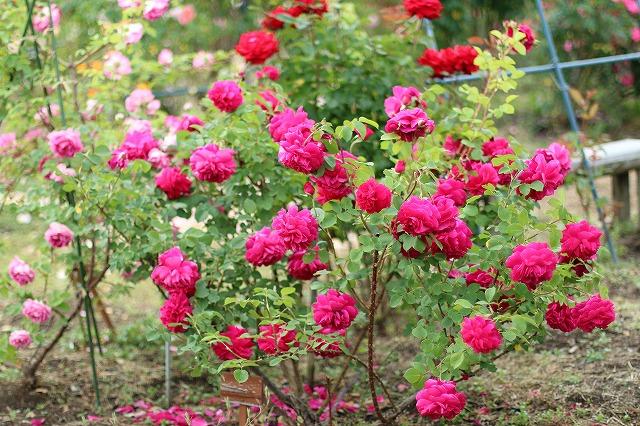 IMG_5544安曇野のバラのお宅