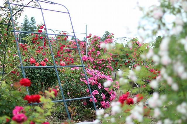 IMG_5545安曇野のバラのお宅