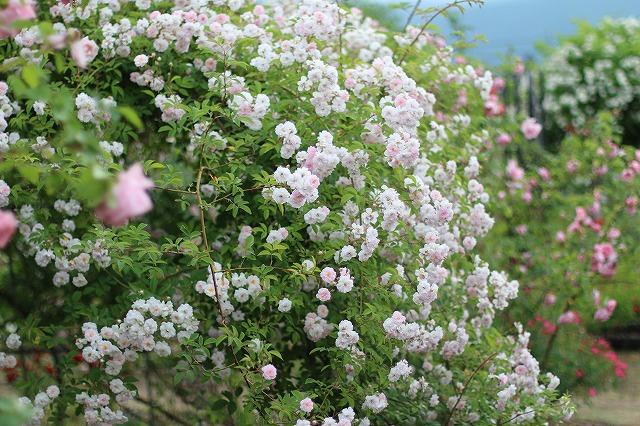 IMG_5550安曇野のバラのお宅