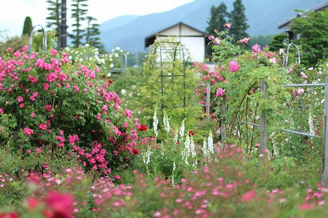 IMG_5553安曇野のバラのお宅