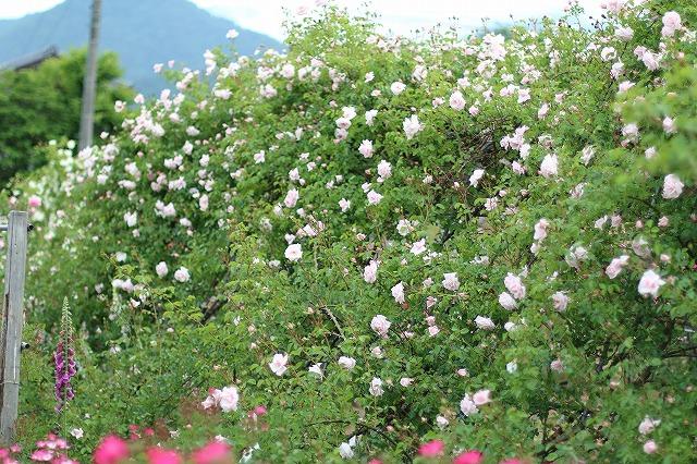 IMG_5554安曇野のバラのお宅