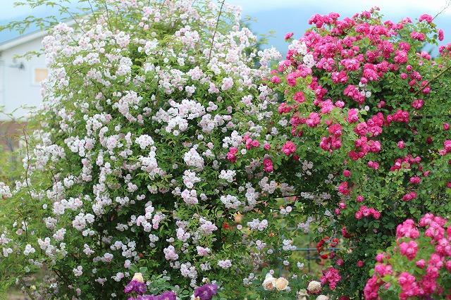 IMG_5555安曇野のバラのお宅