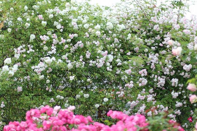 IMG_5557安曇野のバラのお宅