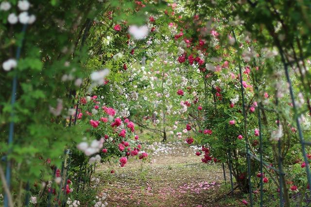 IMG_5563安曇野のバラのお宅