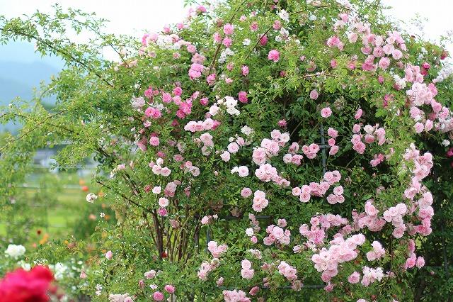 IMG_5564安曇野のバラのお宅