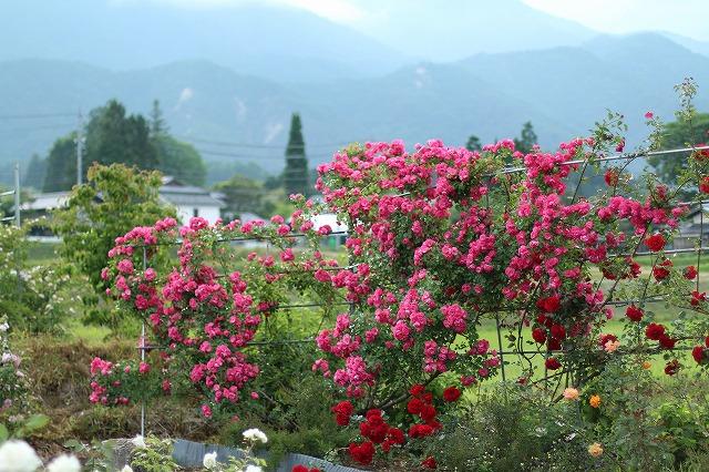 IMG_5568安曇野のバラのお宅